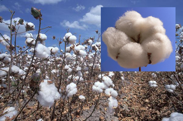 Cotton field and cotton boll